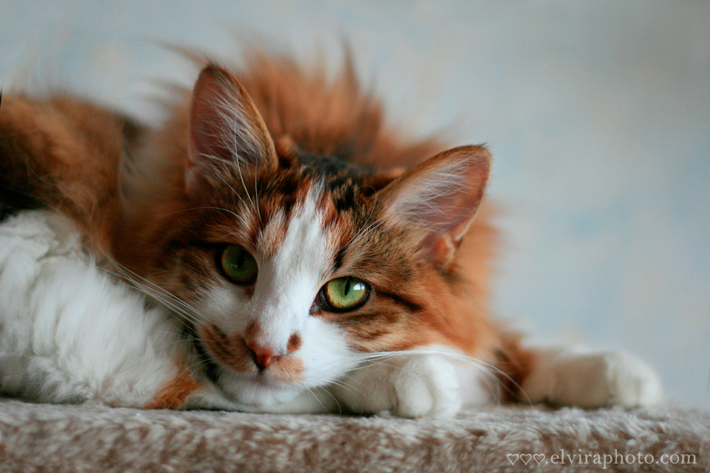 photo animaux compagnie chat